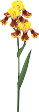 Yellow Iris Flowers With Long Stem With Green Leaves Isolated On White Background