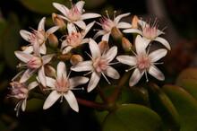 Selective Focus Shot Of Crassula Ovata Flowers