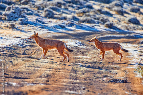 Two highly endangered canid beast, ethiopian wolves, canis simensis, running over the dusty road on Sanetti plateau, Bale mountains national park, Ethiopia, Africa.