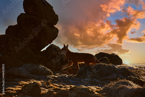 Silhouette of highly endangered beast, Ethiopian wolf, Canis simensis, on the hunt. Ethiopean wolf against dramatic sky. Hoarfrost, Sanetti plateau environment, Bale Mountains National Park, Ethiopia.
