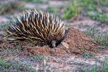 Echidna Digging Into The Ground On A Farm