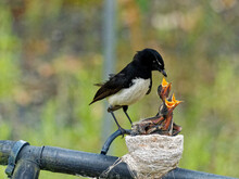 Australian Native Willie Wagtail Bird Sitting On Nest Feeding Three Young Chicks