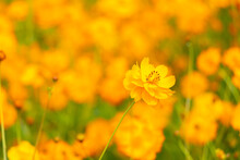 Beautiful Yellow Color Cosmos (Cosmos Sulphureus) Flower Field Background