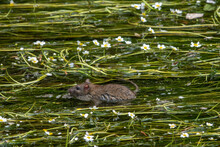 Pretty Small Water Rat Swimming Amongst The Flowers In The River