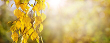 Autumn Background With Yellow Birch Leaves On Blurred Background In Sunny Weather, Panorama, Copy Space