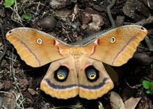 Antheraea Polyphemus Moth Or Giant Silk Moth