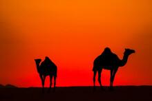 Camels In Golden Hour Dessert View, Jeddah , Saudi Arabia