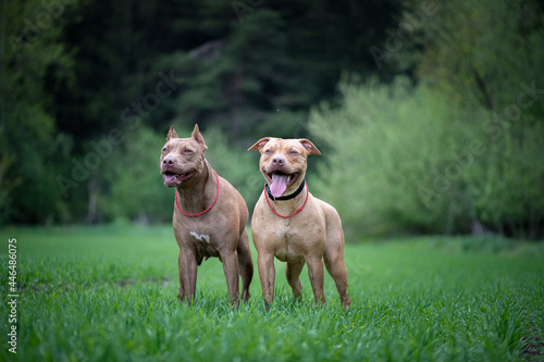 Billede på lærred Portrait of two beautiful young pit bull terriers in the field against the background of the forest