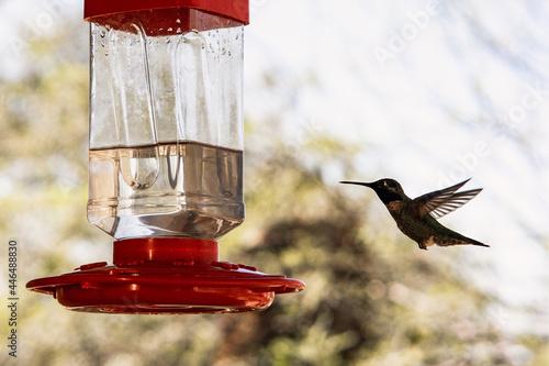 Fototapeta premium Soft focus of a hummingbird drinking from a red bird water feeder