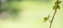 Parthenocissus Quinquefolia - Virginia Creeper In The Garden
