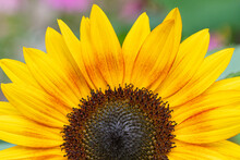 Close Up Of The Center Of A Sunflower In A Garden