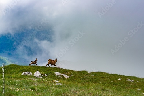 Obraz na plátně Two mountain goat on background of mountains.