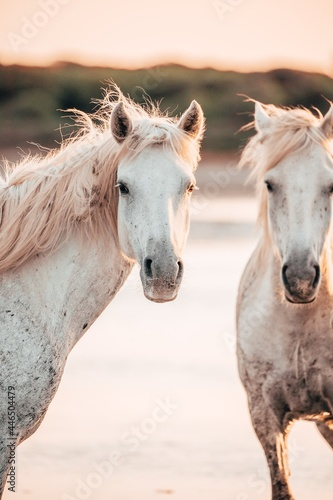 Fototapeta Two of the Wild White Horses at the beach in the sunset, Camargue, France