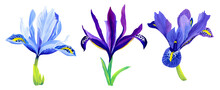 A Set Of Picturesque Beautiful Iris Flowers Drawn In Gouache. Blue, Lilac, Purple Flowers Isolated On A White Background. Summer Print For Clothing, Design, Postcards