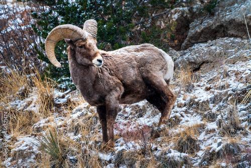 Bighorn Sheep snow day in Colorado