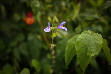 Mealycup Sage Flower In Cottage Garden Setting. Also Known As Blue Salvia, Blue Sage Or Mealy Sage