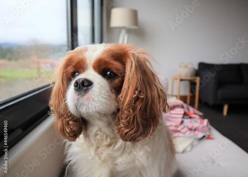 Billede på lærred Cute Cavalier King Charles Spaniel Dog Looking Out Window