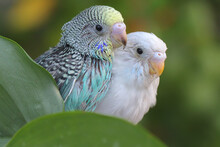 Two Parakeets (Melopsittacus Undulatus) Resting In A Bush.