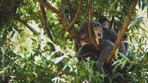 Fototapeta premium Koala im Zoo Zürich