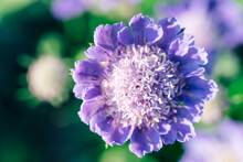 Close-up Of A Purple Scabiosa Columbaria Or Pincushion Flower In A Garden Isolated Over Green Background
