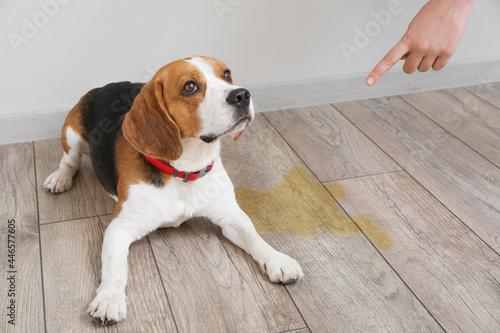 Obraz na plátně Owner scolding naughty dog for wet spot on floor