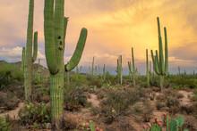 Saguaros And Cacti On Hillside In Sonoran Desert - Saguaro National Park, Arizona, USA