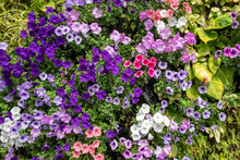 Natural Living Wall Growing Tropical Plants And An Abundance Of Morning Glory Also Known As Field Bindweed Or Convolvulus Arvensis, Bright Colorful Climbing Flowers Attracting Pollinators And Insects