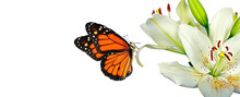 Colorful Monarch Butterfly On White Lily Flowers Isolated On White