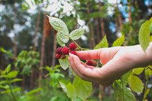 Girl Holding Fresh Red Raspberry..Berry Growing In The Forest. Green Leaves Of Plants. Relaxing And Travel, Wanderlust Concept.