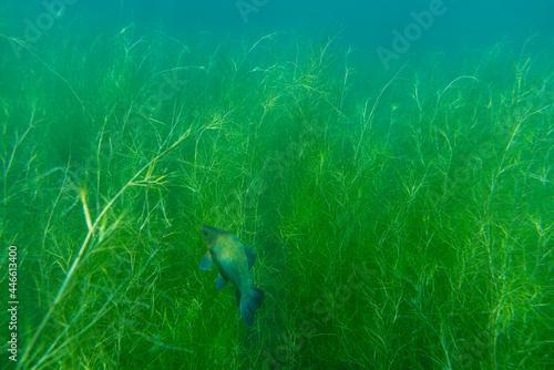 Fotografia, Obraz A tench (tinca tinca) swims between waterplants in shallow water