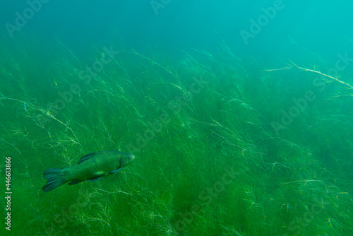 Fototapeta A tench (tinca tinca) swims between waterplants in shallow water