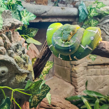 The Green Snake Emerald Tree Boa (Corallus Caninus) Up Into A Position Comfortable For Her, Forming A Beautiful Pattern