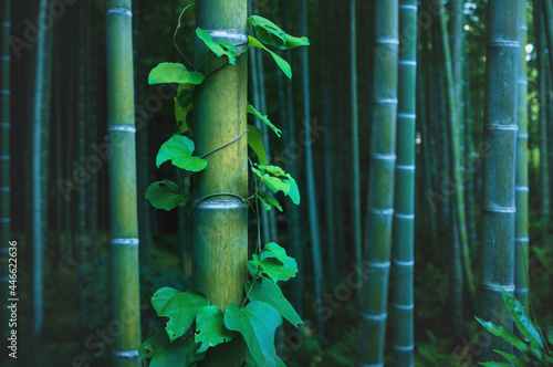 Fototapeta Detail of bamboo trunk covered with envy in mystical forest at Arashiyama grove