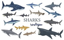 Set Shark Isolated On White Background In Flat. Different Kind Of Sharks.