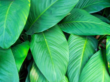 Green Leaf Texture In Tropical Garden. Fresh Leafy Texture After The Rain. Wet Tropical Garden Plant Closeup Photo. Vivid Green Leaf Top View For Natural Cover, Environmental Banner, Ecologic Package