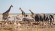 Leinwandbild Motiv Wild animals congregate around a waterhole in Etosha National Park, northern Namibia, Africa.