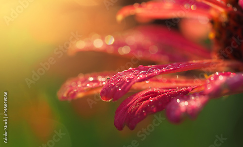 Foto dew drops in the sunset on pink zinnia petals close-up, an abstract image of nat