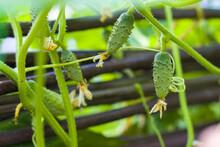 Gherkins Cucumbers Growing In Garden