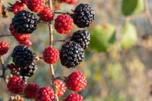 Red And Black Bramble Berries (Rubus Ulmifolius) Ripening In The Sun.