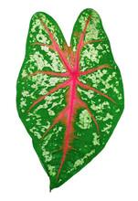 Caladium Bicolor Leaf Isolated On White Background