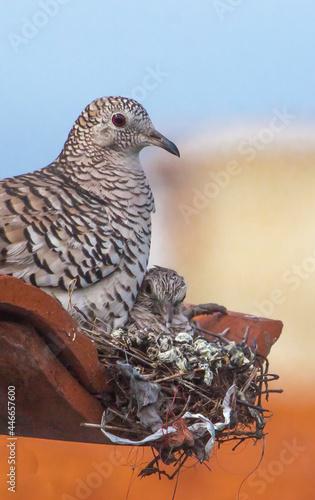 Paloma o tortola silvestre Maraquita,  en su nido con su pichon bajo el ala Fototapeta
