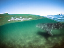 Over Under View Of Whale Shark Underwater With Boat Above