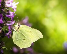 A Brimstone Butterfly On A Flower