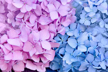 Pink And Blue Hydrangea Flowers Divided By Flowers Close-up. Background, Wallpaper, Texture.