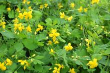 Flowering Chelidonium Majus