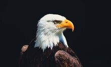 American Bald Eagle With Background