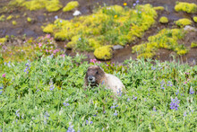 Hoary Marmot Sitting In A Patch Of Lupine Wildflowers At Paradise In Mount Rainier National Park With A Stream Passing Behind.