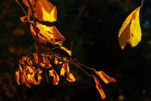 Leaves In Autumn Against The Light