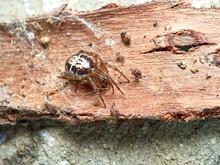 False Widow Spider. Steatoda Nobilis