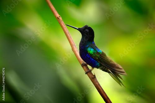 Fototapeta premium Velvet-purple Coronet, Boissonneaua jardini, dark blue and black hummingbird sitting on green lichen branch in the tropical forest. Beautiful glossy and glittering bird in the nature habitat, Ecuador.